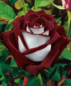 Osiria_Rose